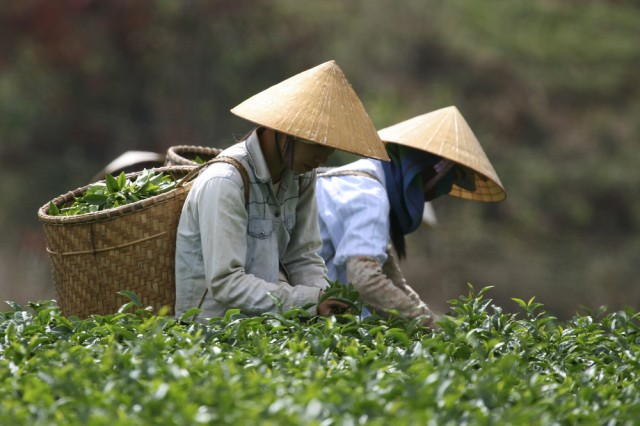 tea raccolta