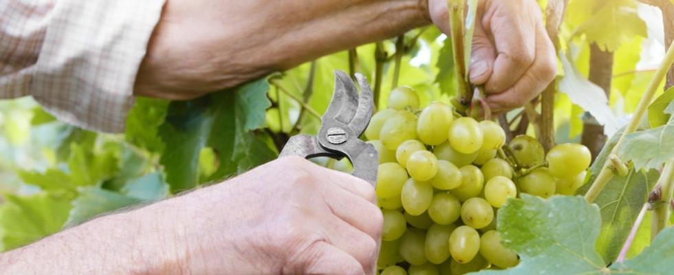 5 ricette per gustare l'uva da tavola