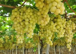 Dieta dell'uva: come farla correttamente