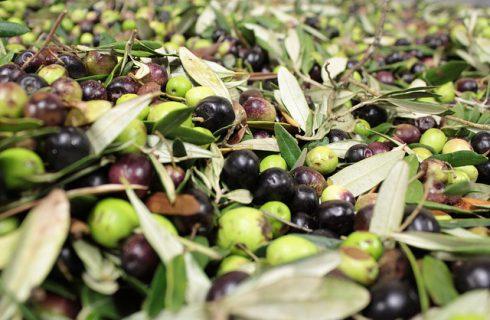 Olio d'oliva: il 2014 verrà ricordato come una pessima annata