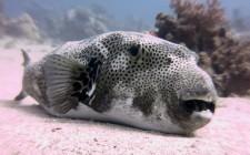 Pericolo pesce Palla nell'Alto Adriatico