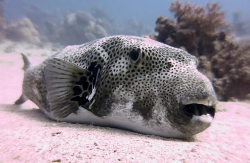 Pericolo Pesce Palla: trovato nell'Alto Adriatico