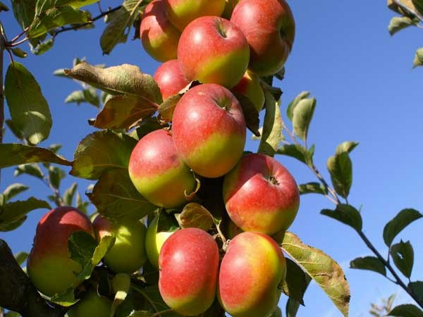 mela rossa monti sibillini