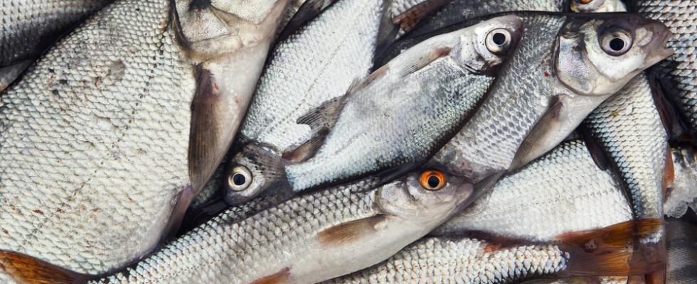 Riscoprire il territorio i pesci di acqua dolce agrodolce for Pesci acqua dolce commestibili