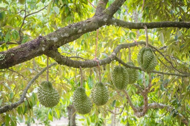 durian sull'albero