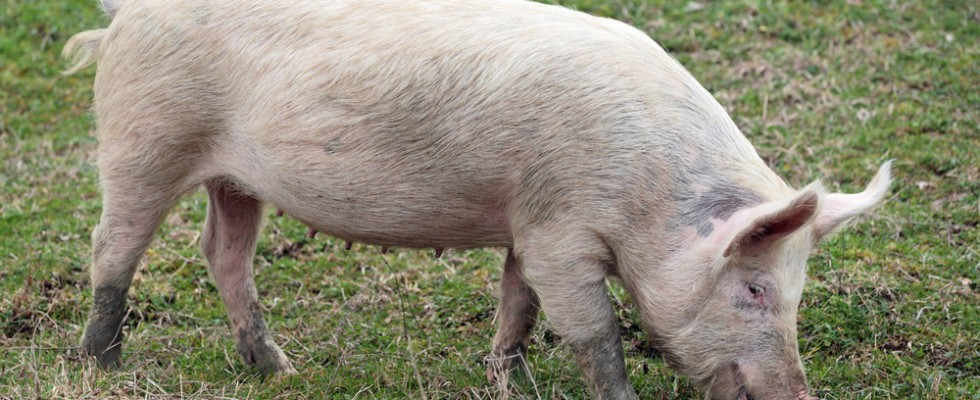 Non si butta via niente: come cucinare ogni parte del maiale