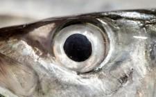 Tenete d'occhio il Calendario del Pesce