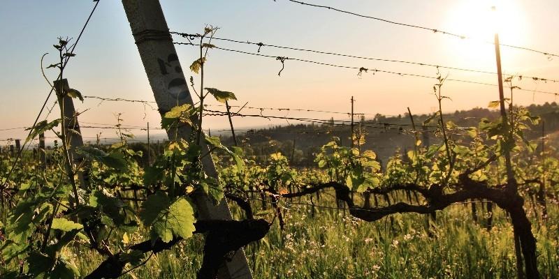 Colli Bolognesi: i vini di Orsi Vigneto San Vito