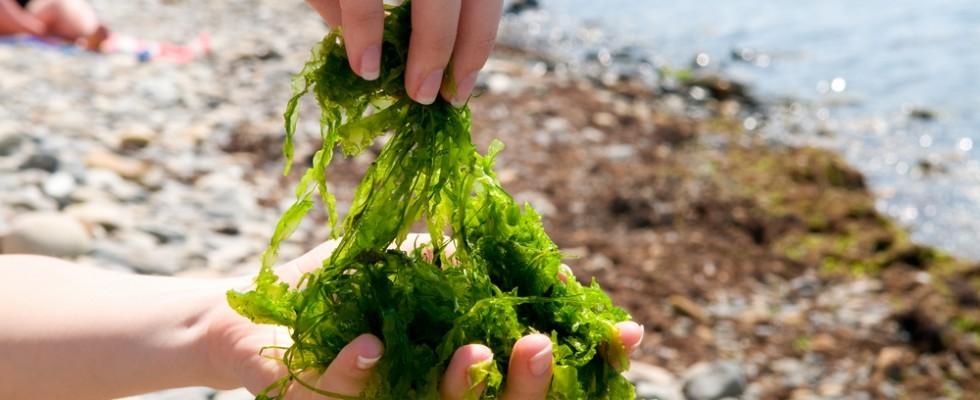 Le 10 alghe commestibili più utilizzate
