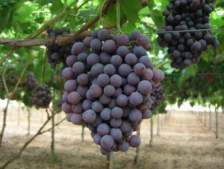 L 39 uva da tavola dalla a alla z agrodolce - Uva da tavola puglia ...