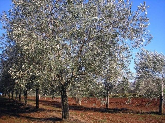 olivo-bianchera