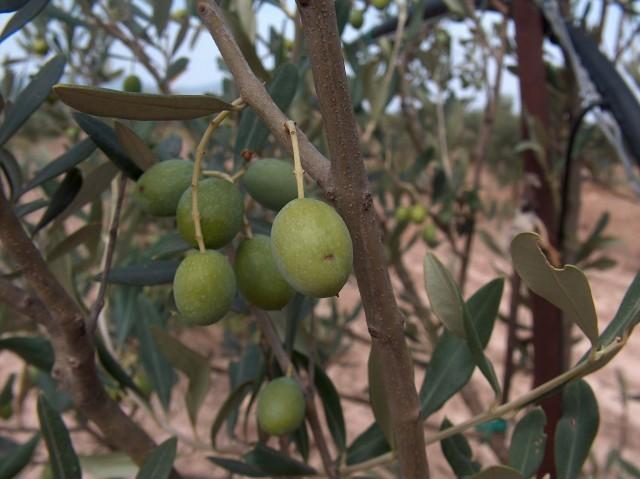 olivo bosana