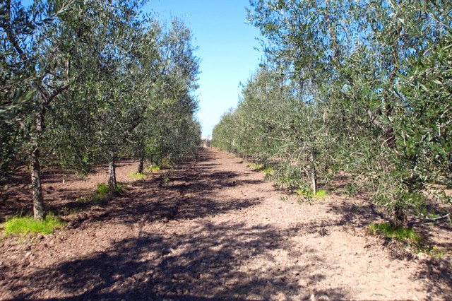 olivo coratina