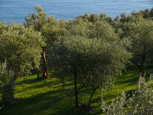 olivo taggiasca