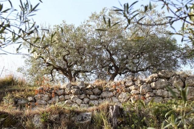 olivo tonda iblea