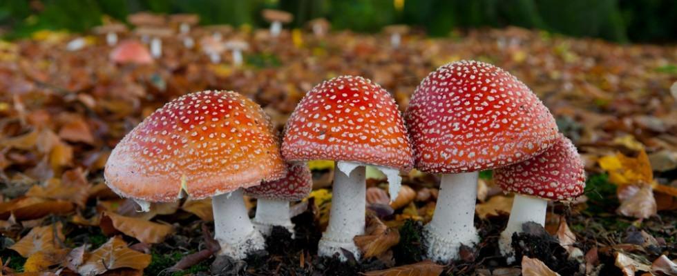 Non mangiarlo! 17 funghi comuni che sono velenosi