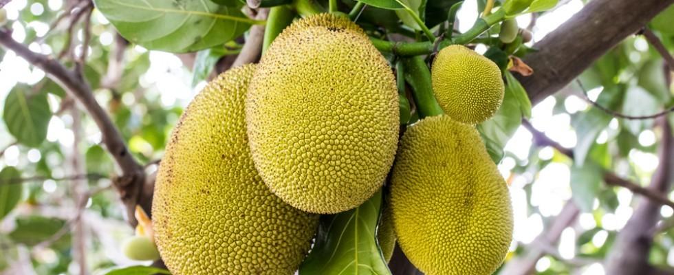 Cos'è il Jackfruit?