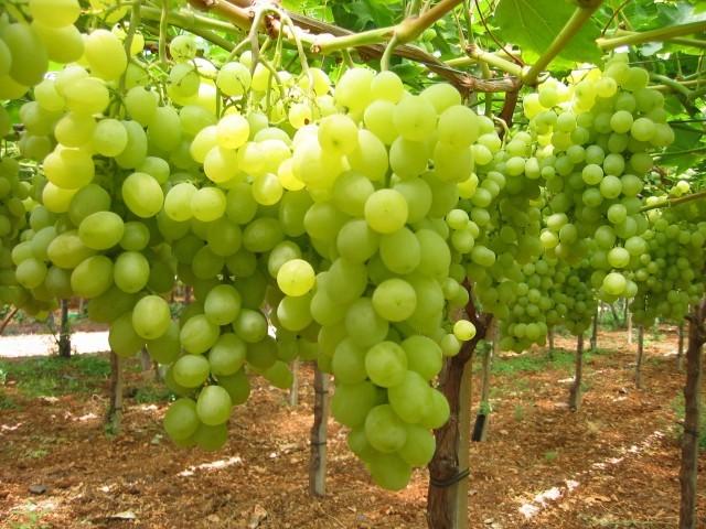 L 39 uva da tavola dalla a alla z agrodolce - Uva da tavola di mazzarrone ...