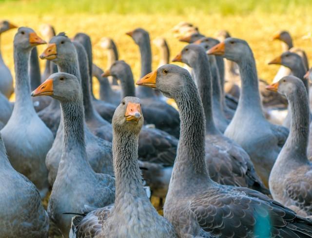 anatre_foie gras