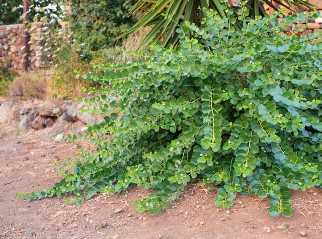 pianta di cappero