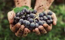 L'Italia è primo prduttore di vino al mondo