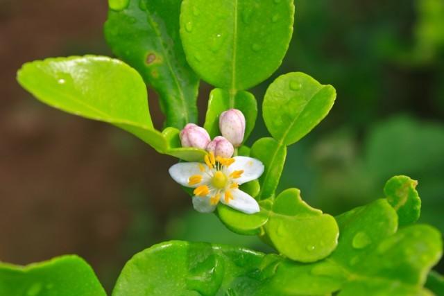 fiore di bergamotto