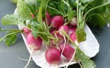 5 ricette con i ravanelli cotti: ecco cosa portare in tavola