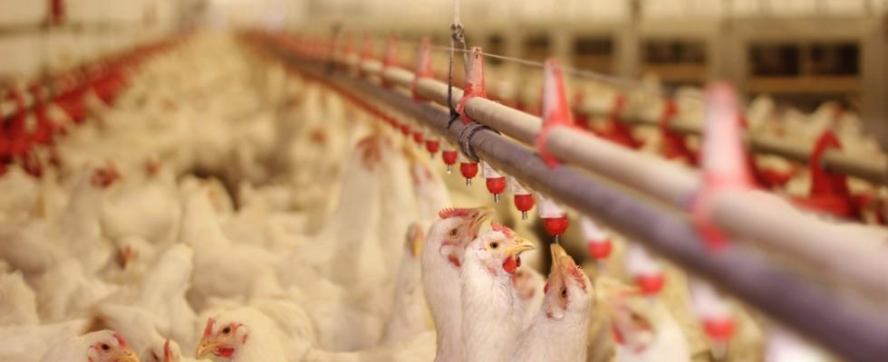 Polli resistenti agli antibiotici: i dati del ministero