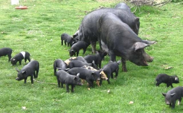 maiale nero casertano