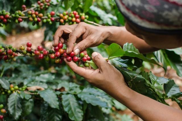 raccolto caffè