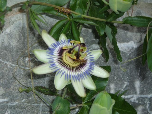 Passiflora.jpg