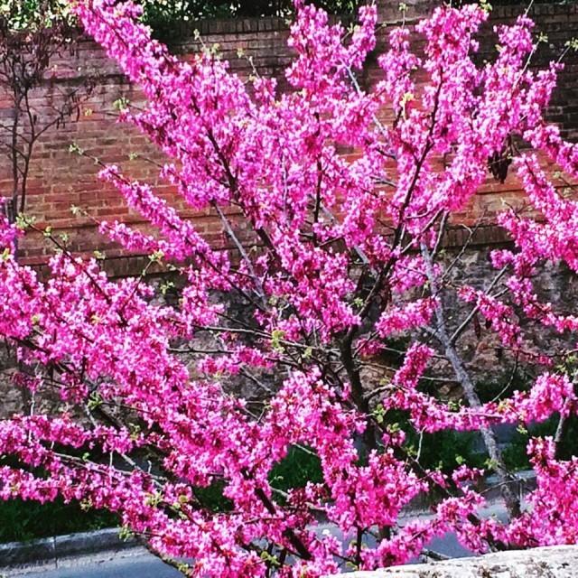 albero-di-giuda