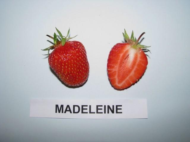 fragola madeleine