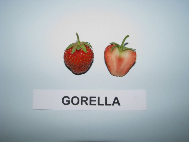 gorella fragola