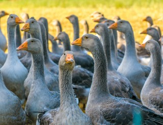 Eataly dice no alla vendita di foie gras