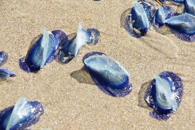 Velella velella jellyfish