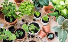 Come coltivare le piante officinali in casa
