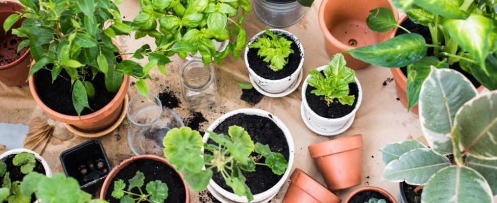 How to: come coltivare le piante officinali in casa