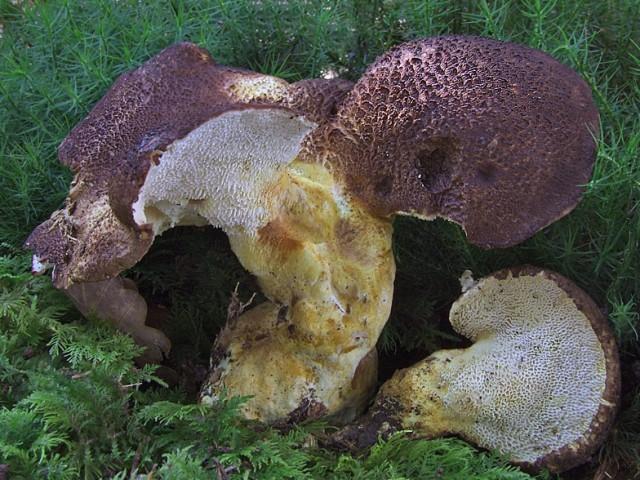 Albatrellus pes-caprae