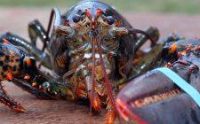 Aragoste vive in ghiaccio: è reato