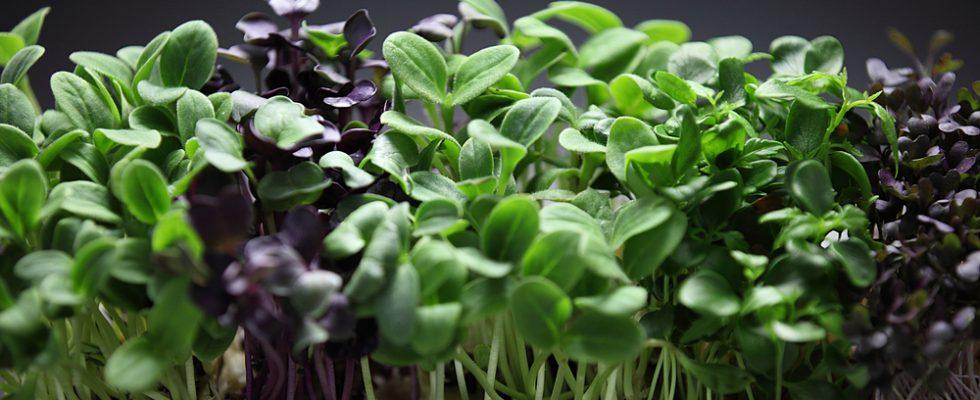 Cosa sono i micro-ortaggi e perché piacciono tanto agli chef?