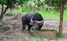 E voi mangiate la carne di bufalo?