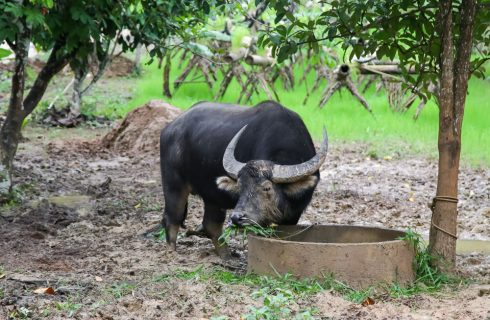 E voi la mangiate la carne di bufalo?