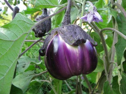 melanzana-violetta-di-firenze