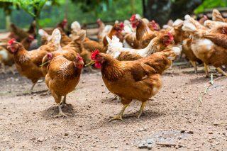 Il controllo della filiera produttiva: il pollo e la sua Origine