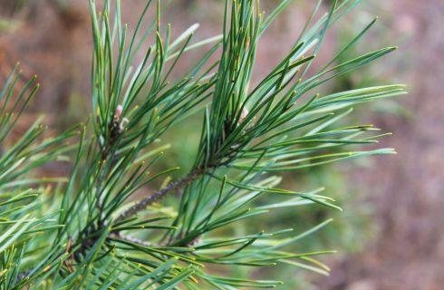Soluzioni insolite: usare gli aghi di pino in cucina