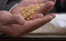 longoni-seleziona-i-chicchi-di-grano
