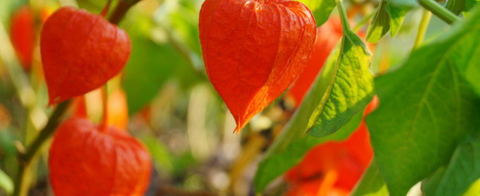 Cos'è e come si usa l'alchechengi, il frutto esotico tipico del periodo natalizio