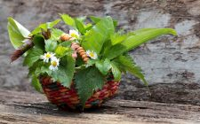 7 erbe selvatiche da usare in cucina