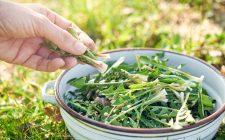 Tarassaco: 3 ricette per tisane benefiche